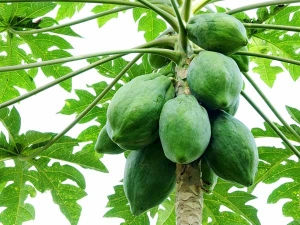 How Papaya Helps You Lose Weight Check It Out